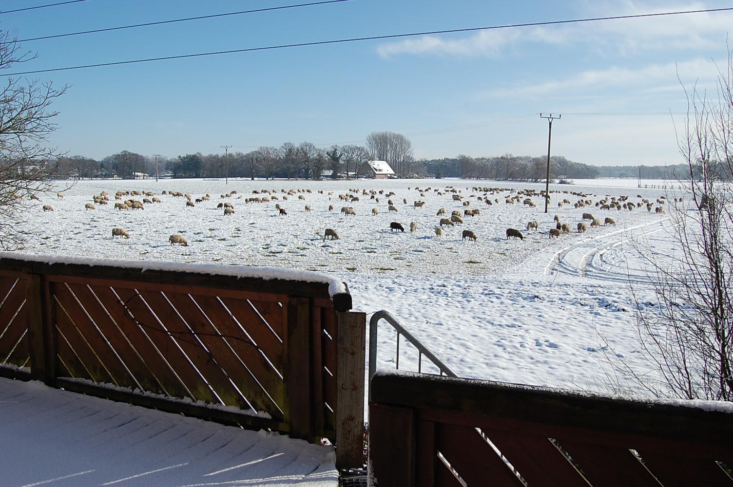 Schafe im Westen